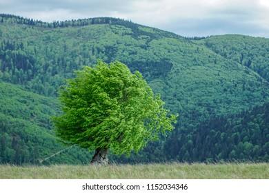 Hornbeam on inter-forest meadow, Transylvania