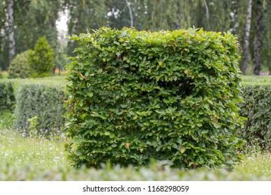 hornbeam in a summer park, cut into a beautiful shape