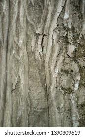 Hornbeam Tree Bark or Rhytidome Texture Detail in Spring Forest
