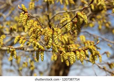Hornbeam Tree (Latin Name: Carpinus Betulus)