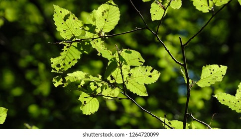Hornbeam tree leaves against sunlight partly destroyed by insects, Bialowieza Forest, Poland, Europe