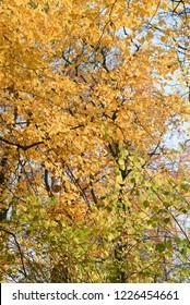 hornbeam tree orange autumn leaves on sunny day