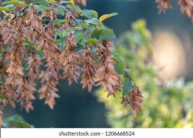 hornbeam tree at park in autumn