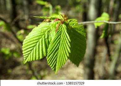Hornbeams or hardwood trees  leaves with a small bug on. Bright nature green background texture. Horn beech tree. Carpinus betulus  leaves.