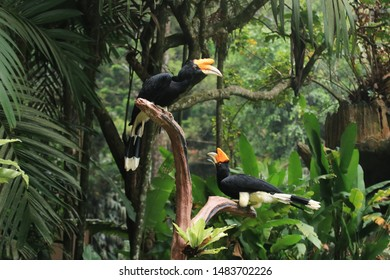 Hornbill (Hornbill) is a bird consisting of 57 species spread across Asia and Africa. 14 of them are found in Indonesia. Among hornbills, the type of hornbill horn is the largest in size,