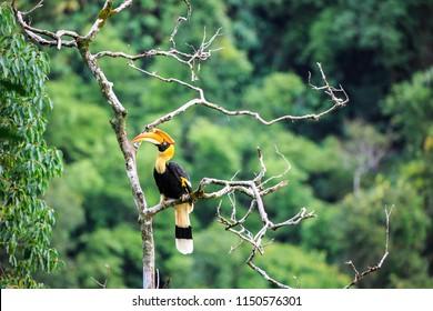 The hornbill bird on tree at Kaeng Krachan National Park, Thailand.