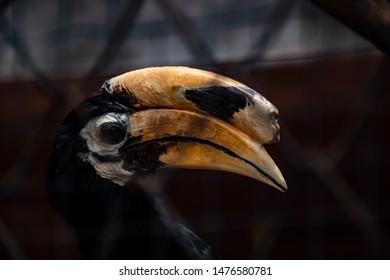 Hornbill in zoo, Oriental pied hornbill