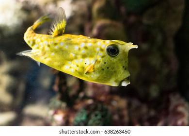 horned box-fish fish