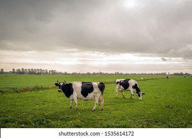 Horned cows in a Dutch meadow. It is raining from the dark clouds. The photo was taken in the fall season at the village of Noordeloos, municipality of Molenlanden, Alblasserwaard, South Holland.