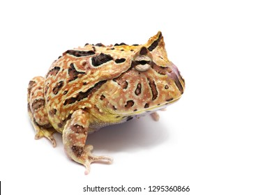 Horned frog hybrid Ceratophrys cornuta + Ceratophrys cranwelli isolated on white background.  Pacman frog