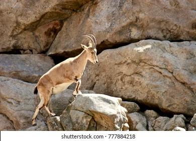 horned goat on mountain