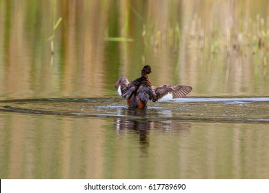 Horned grebe flapping its wings in the water