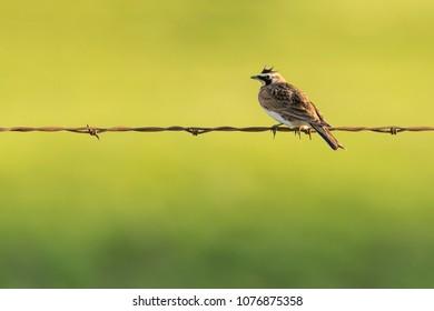Horned Lark Bird sitting on Barbed Wire