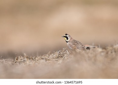 A Horned Lark forages for a meal in the section of Toronto, Ontario's Downsview Park being used to re-create a Tallgrass Prairie ecosystem.