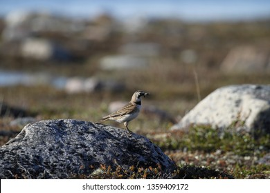 Horned Lark (or shore lark) standing on a rock with a bug in its mouth