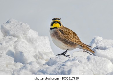 Horned Lark Perched In The Snow