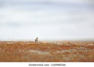 Horned lark in tundra