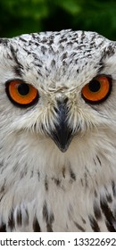 Horned owl bird