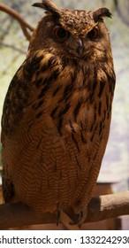 Horned owl.Whole body.