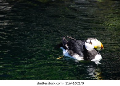 Horned puffin ( Fratercula corniculata )  auk swimming Newport, Oregon
