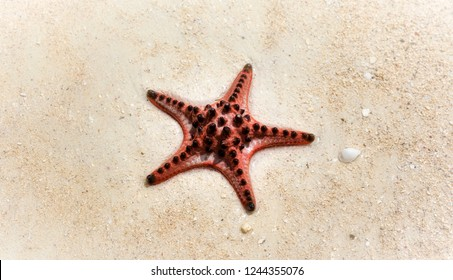 Horned Sea Star on a Beach in the Philippines