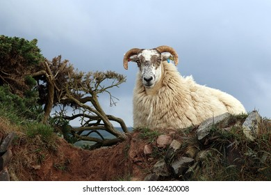 Horned sheep partially behind a stone wall