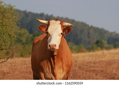 horned Simmental cow on a dry pasture, tree and forest in background