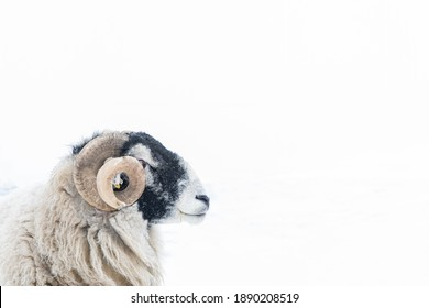 Horned Swaledale ram head against snow covered field