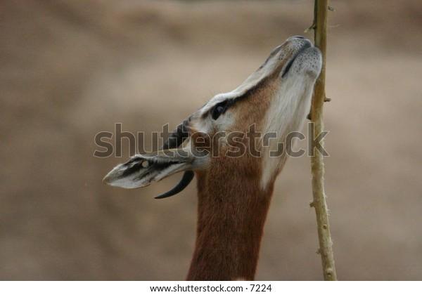 horned ungulate