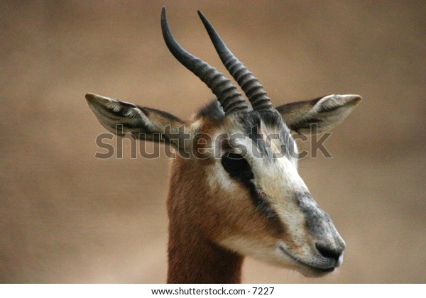 horned ungulate