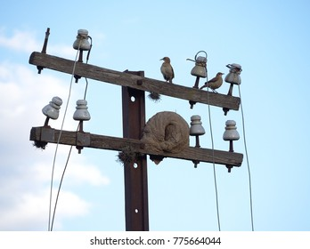 Hornero birds and their mud nest on an old telegraph pole. Cordoba, Argentina