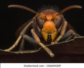 hornet asian wasp macro vespavelutina
