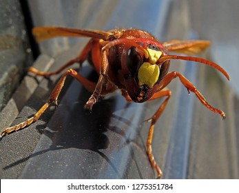 hornet bee insect
