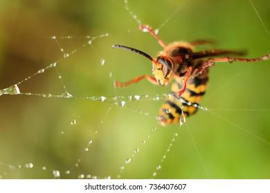 Hornet caught in spiderweb