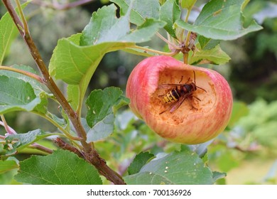 Hornet damaging apple in the orchard