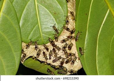 Hornet, Hornets are building on leaves.