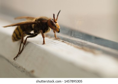 Hornet macro photo. Hornet caught in a human dwelling and looks out the window. Background image of a predatory insect Hornet on a light blurred background.