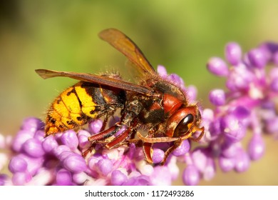 Hornet mimic hoverfly (Volucella Zonaria) feeding on a flower