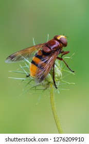 the hornet mimic hoverfly - Volucella zonaria