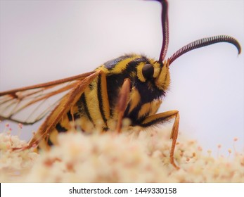Hornet Moth or Hornet Clearwing; the Harmless Moth that Looks Like a Scary Yellow Jacket Wasp. Scientific name is Sesia apiformis. It protects itself with mimicry.