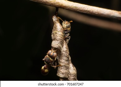 Hornet and nest in Thailand