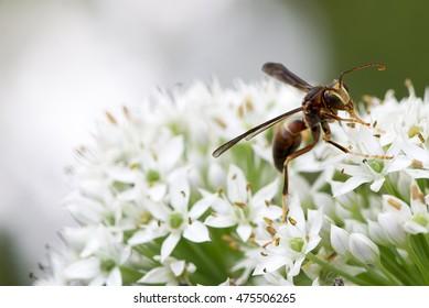 hornet on the flower