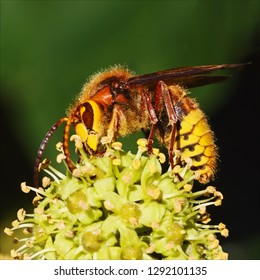 Hornet on top. A colourful European hornet stands on top of a bunch of ivy flowers whilst feeding.