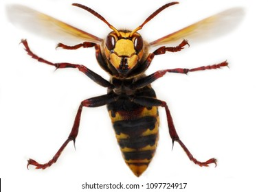 hornet on white background ready to attack