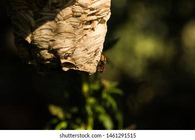a hornet (Vespa crabo) at the hornets nest