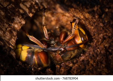 Hornet (Vespa crabro) ready for winter. A hibernating queen hornet shown in hole, whilst over-wintering within a tree trunk