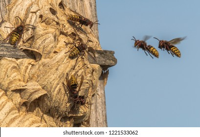 The hornet (Vespa crabro) is a species in the family of the social wasps (Vespidae). Here, two fly to their nest. Concept: insects and animals
