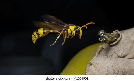 hornet,Caterpillars, food for the   hornet