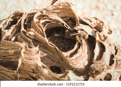 Hornets beehive - Nest of wasps (Marche, Italy, Europe)