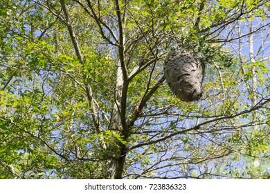 Hornet's nest, Wompatuck State Park